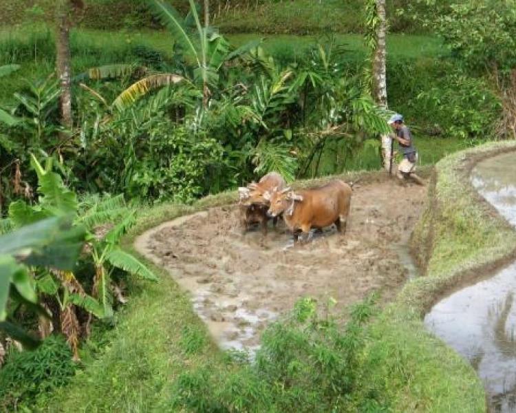 randonnée à belimbing  les rizières avec le système de terrasses offrent des vues incomparables