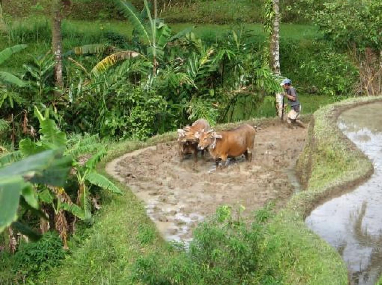 voyage à bali avec balilabelle Trekking à Jatiluwih entouré de rizières