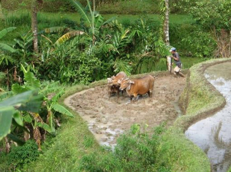Randonnée  dans la region tabanan à Bali