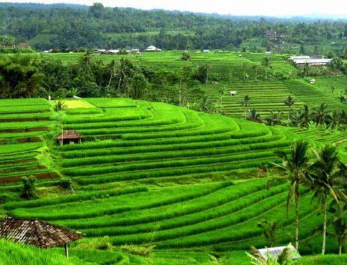balader dans les rizierres de jatiluwih