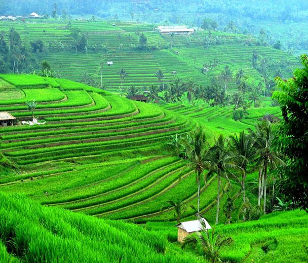 trekking au village de blimbing  tres belle rizierre
