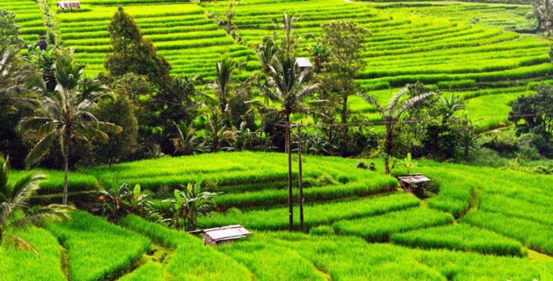 voyage à bali avec balilabelle trekking  à Jatiluwih Village avec panorama des rizierres en terrasse