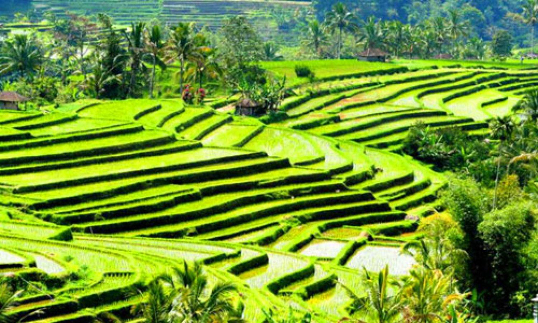 balade à  pied Jatiluwih entouré de rizières