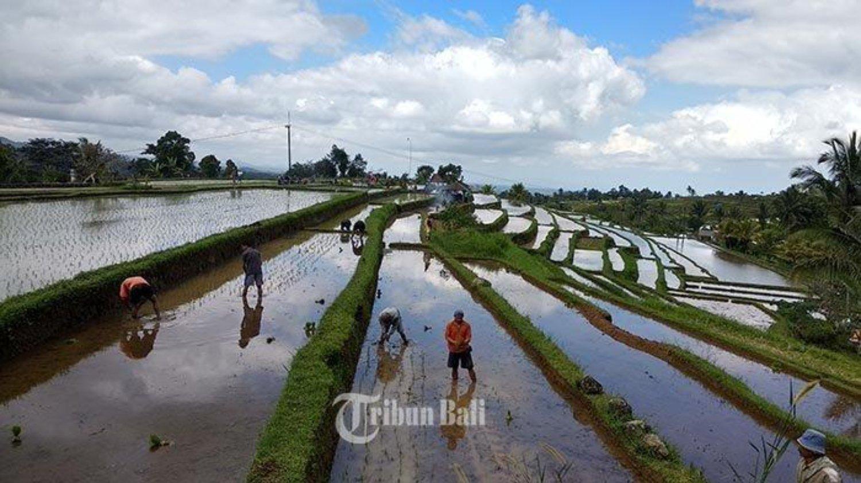 randonnée à  jatiluwihbali,vue très imprenable avec une belle rizierre en terasse,balilabelle