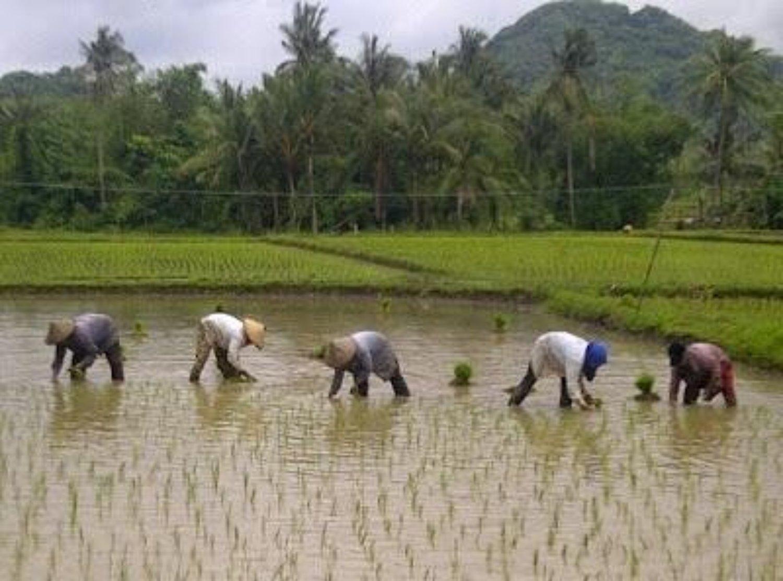 randonnée bali ,le vert des rizières de Jatiluwih et la gentillesse des agriculteurs