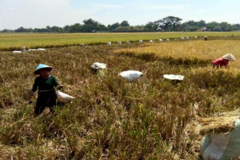 jelang panen padi milik petani malah dibabat pencuri langsung di sawah 52amXRQd0z